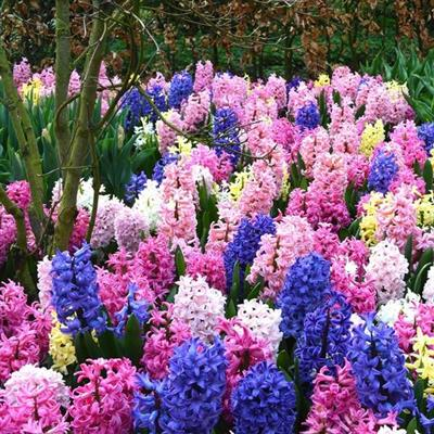 84007100_Hyacinth-Mix-1_medium.jpg